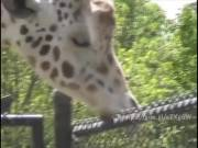 Giraffe sucking a pole